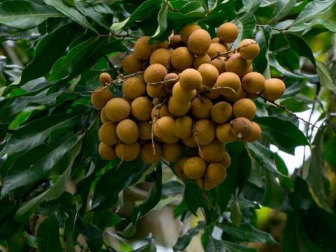 015-dimocarpus-longan