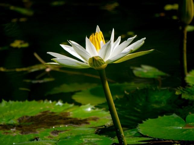 040-nymphaea-lotus