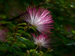 048-calliandra-brevipes