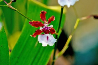 10-maxilaria-oncidium-sharry-baby