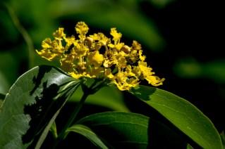 45-ochna-serrulata-ou-tetrapterys-phlomoides