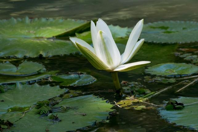 61-nymphaea-lotus
