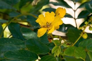 62-senna-appendiculata