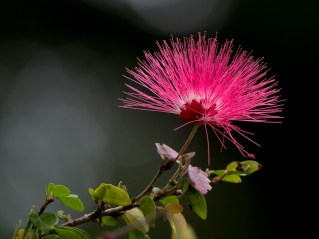05-calliandra-harrisii