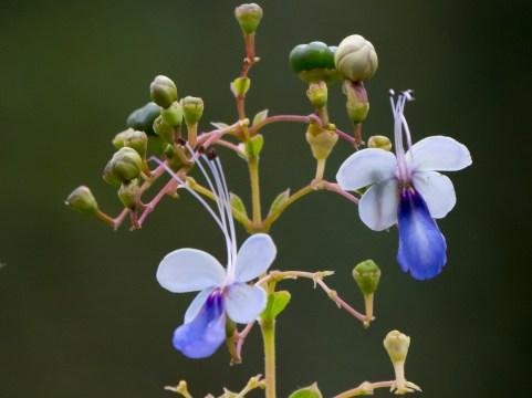 18-rotheca-myricoides