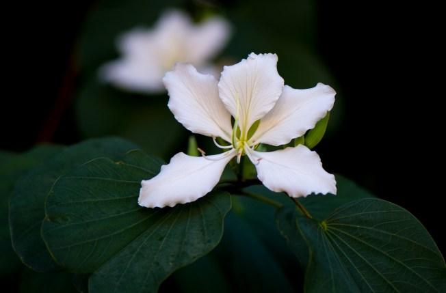 01-bauhinia-variegata-albo-flava