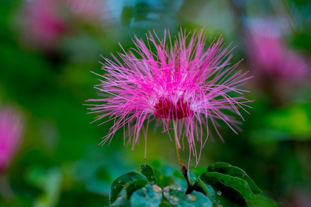 06-calliandra-harrisii