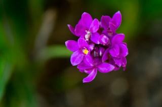 09-spathoglotis-unguiculata