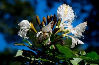 24-camoensia-scandens