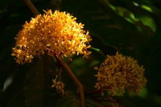 40-saraca-thaipingensis