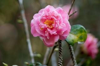05-camellia-japonica