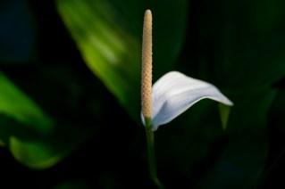 06-spathiphyllum-cannifolium