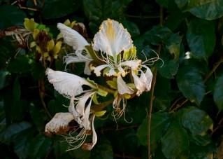 29-camoensia-scandens