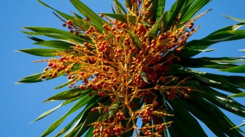 34-dracaena-arborea
