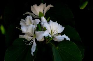 02-bauhinia-variegata