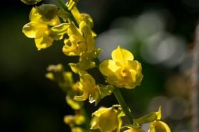 21-orquidea-amarela