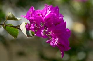45-bougainvillea-spectabilis