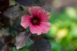 51-hibiscus-acetosella