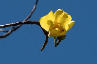 061-cochlospermum-vitifolia