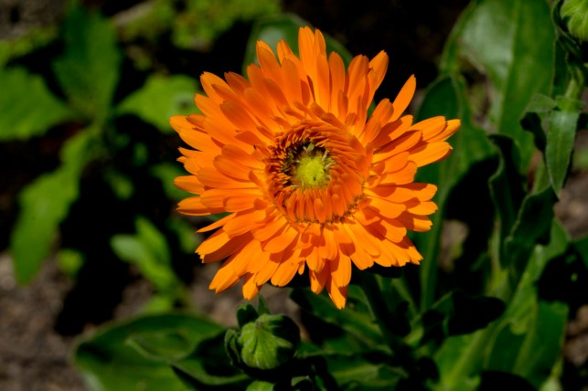 078-calendula-officinalis