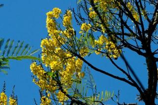 086-arvore-de-flores-amarelas