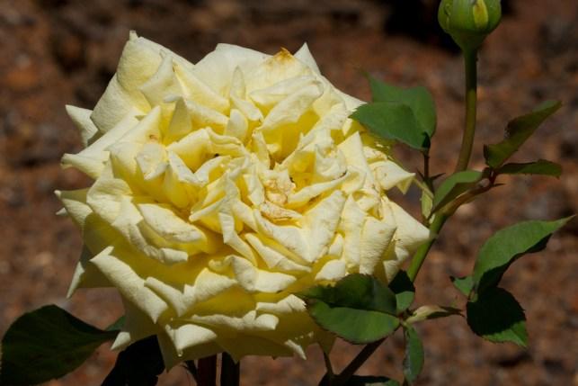 096-roseiral