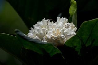 108-rudgea-macrophylla