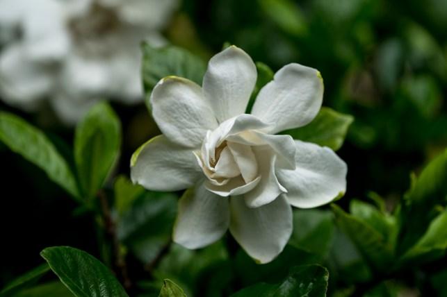 01-gardenia-jasminoides