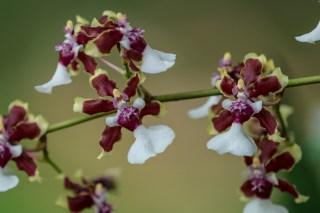 08-maxillaria-sharry-baby