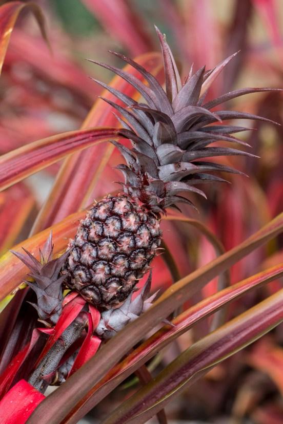 15-ananas-bracteatus