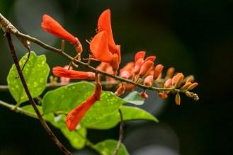 16-erythrina-senegalensis