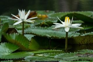 41-nymphaea-lotus