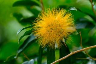 49-stifftia-crysanta
