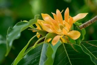 56-magnolia-champaca