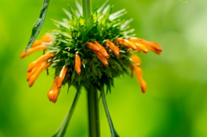 67-leonotis-nepetifolia