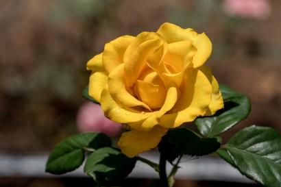78-roseiral