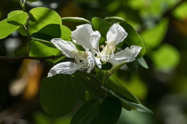 94-bauhinia-variegata