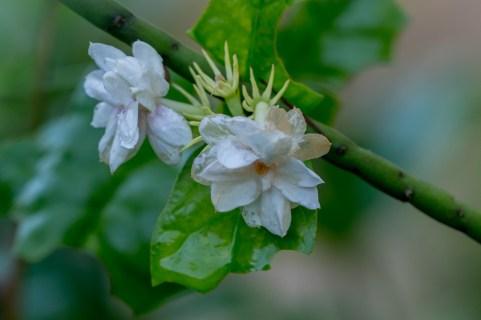 08-jasminum-sambac