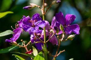 25-tibouchina-granulosa
