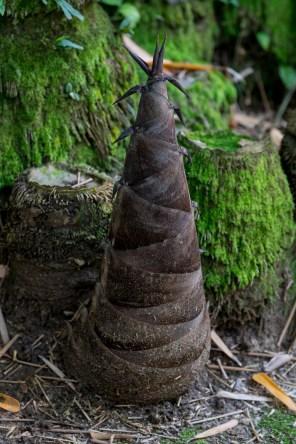 53-broto-de-bambu