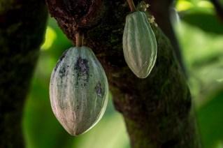 68-theobroma-cacao