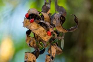70-adenanthera-pavonina