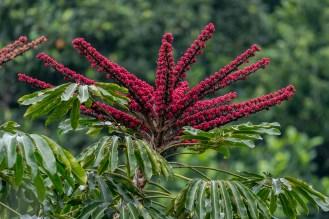 36 - Schefflera actinophylla