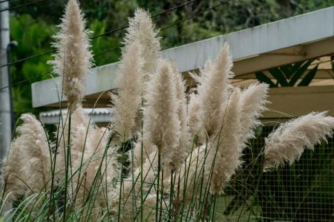 40 - Cortaderia selloana