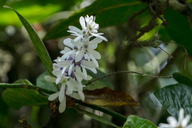 71 - Petrea arborea