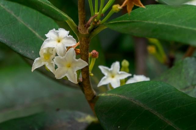76 - Mascarenhasia arborescens