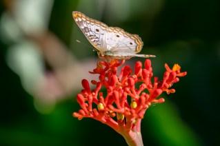 15 - Jatropha podagrica