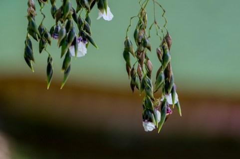 32 - Thalia geniculata