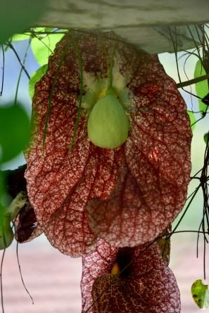 49 - Aristolochia gigantea