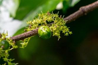 68 - Vangueria madagascariensis